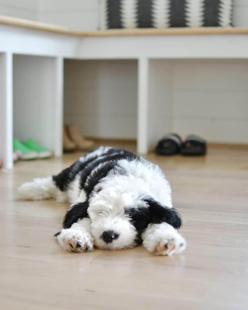 sheepadoodle puppy sleeping
