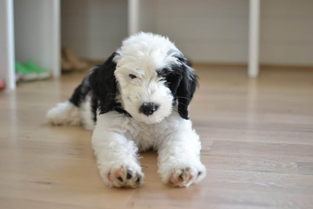 Our Pet Sheepadoodle The Good Bad Amp The Smelly Chrissy Marie Blog
