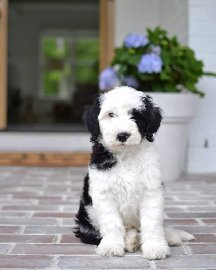 sheepadoodle puppies on a front porch