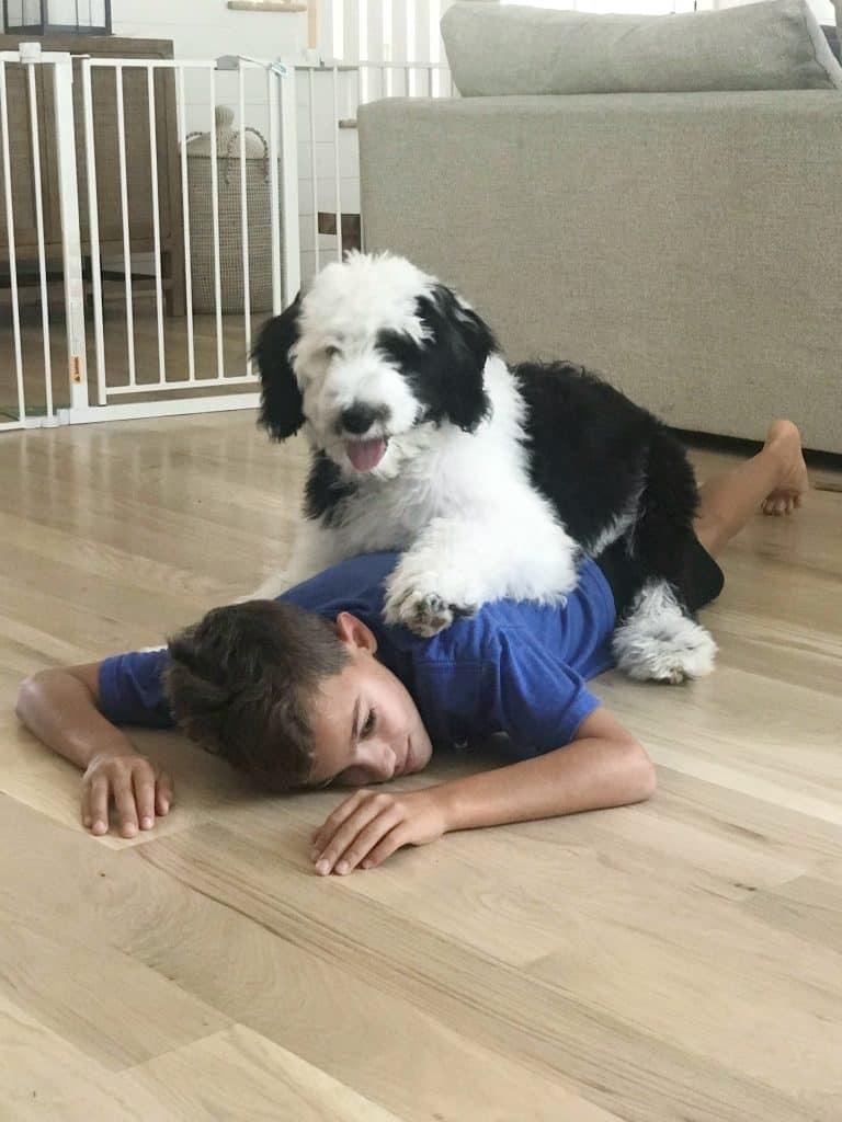 sheepadoodle on a boy's back