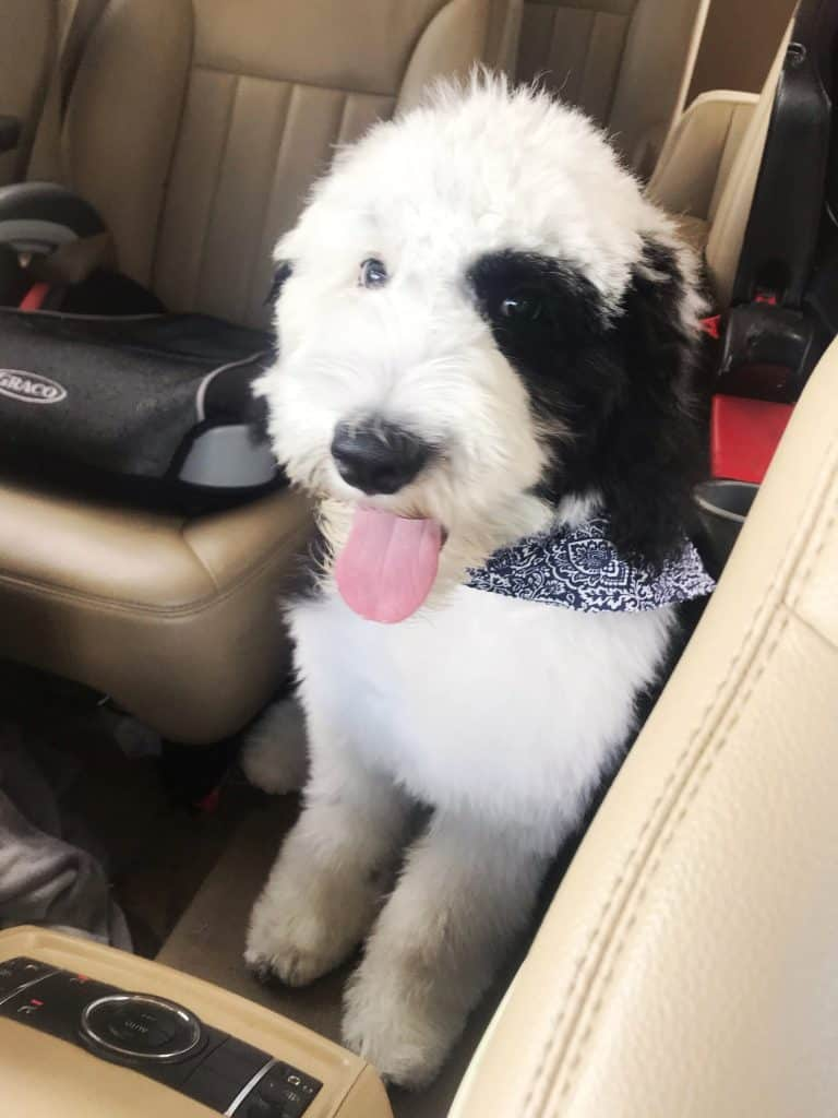 sheepadoodle just from the groomer