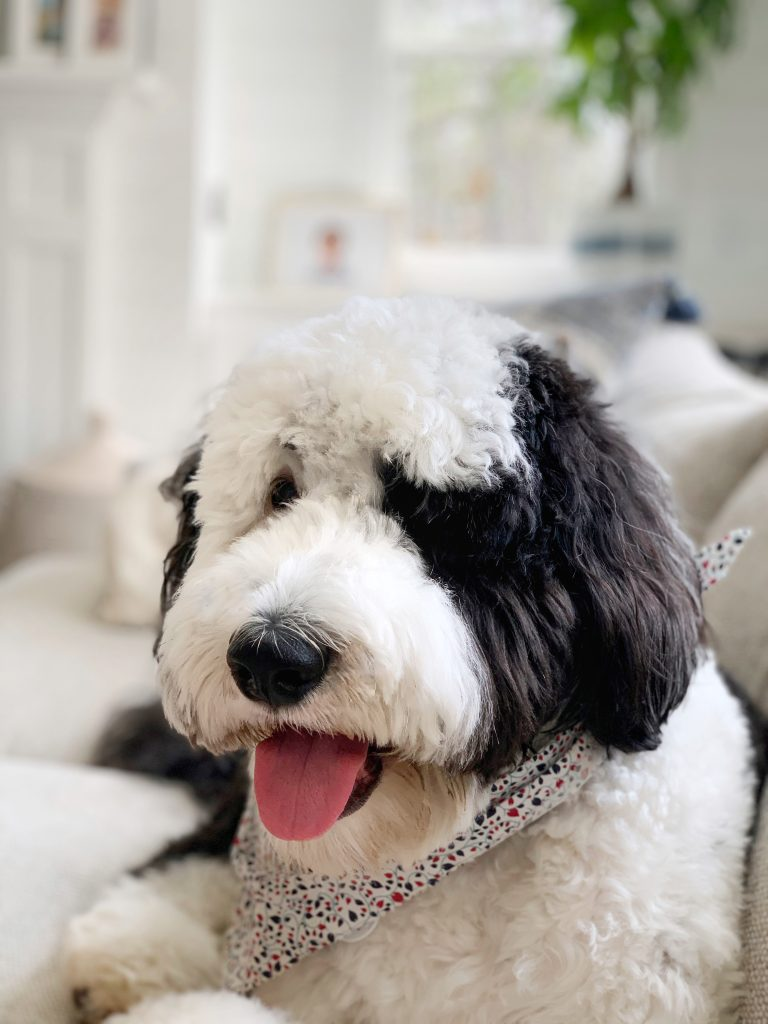 sheepadoodle with his tongue out