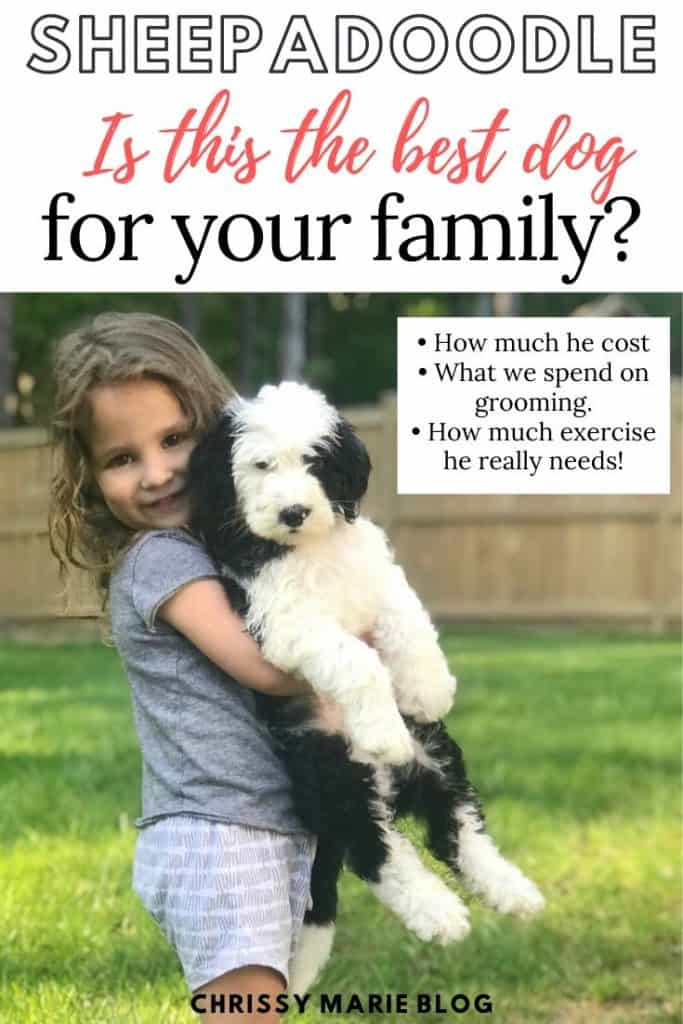 pinterest image of a girl holding a sheepadoodle and it says is a sheepadoodle the right dog for your family