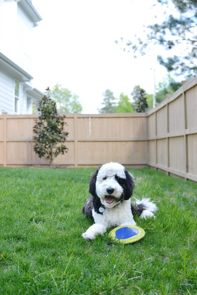 sheepadoodle dog in the grass